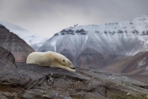 3. 'Polar bear in an iceless land' by @uglefisk